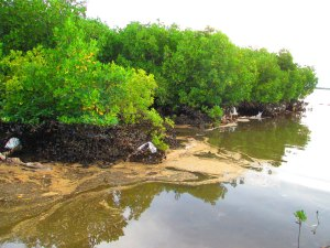 Oil-spill-mangroves