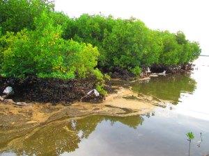 Oil-spill-mangroves